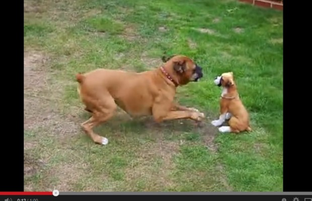 Boxer can't get this pup to play!